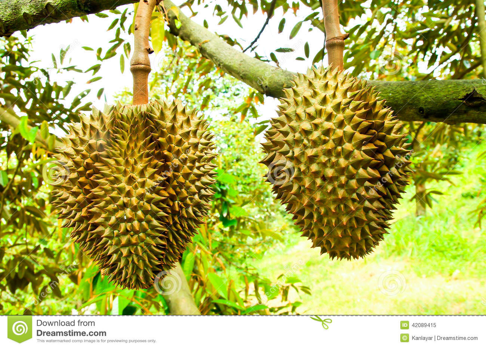 Arbres de durian dans le jardin de rayong tha lande for Arbres de jardin