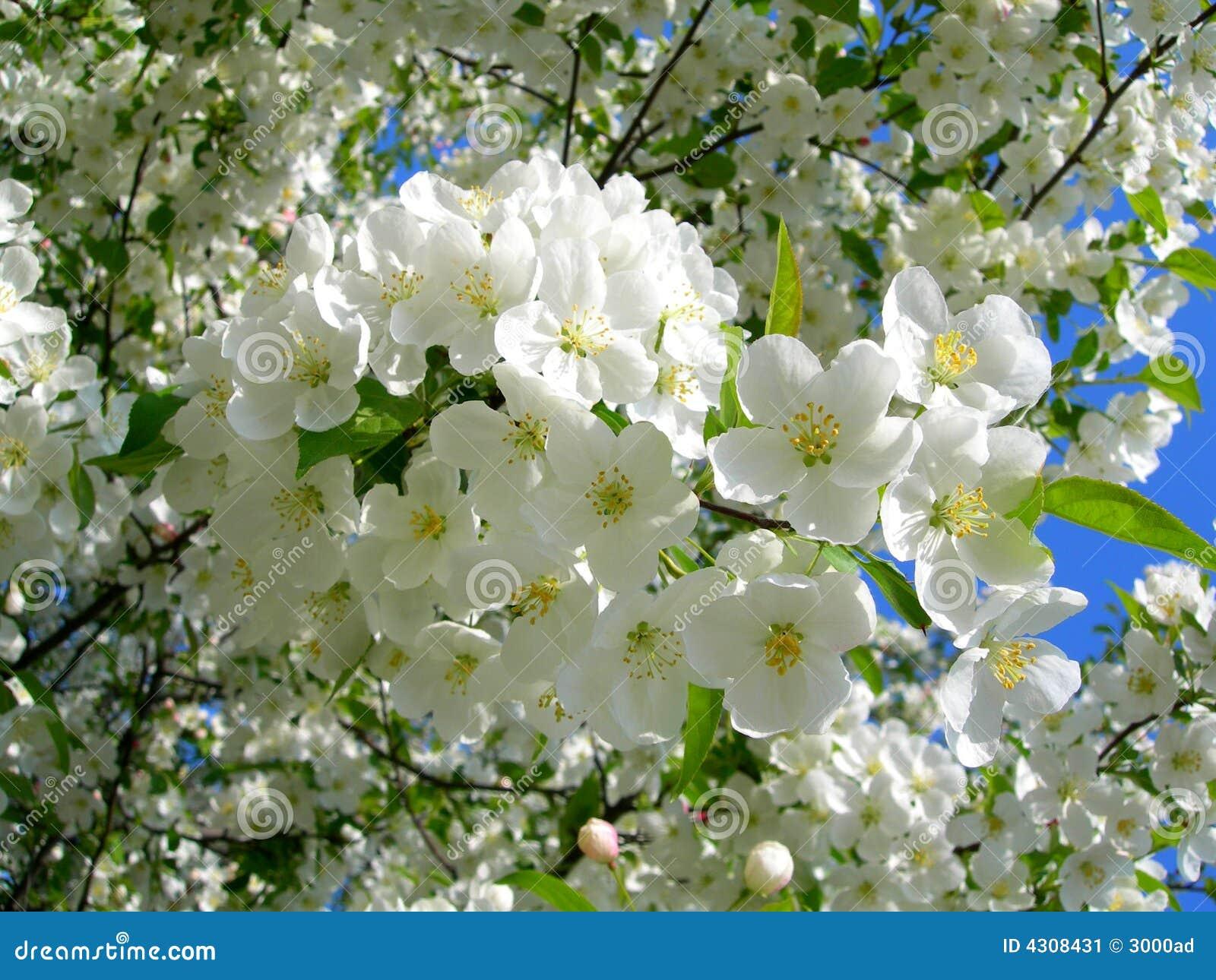 Arbres De Floraison De Fleur Blanche Image Stock Image Du Flore