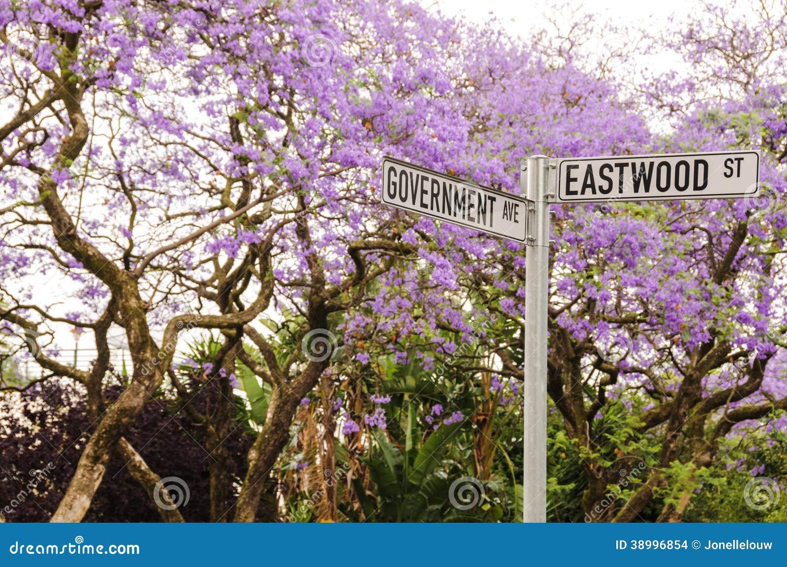 Arbres De Jacaranda En Fleur A Pretoria Afrique Du Sud Photo Stock