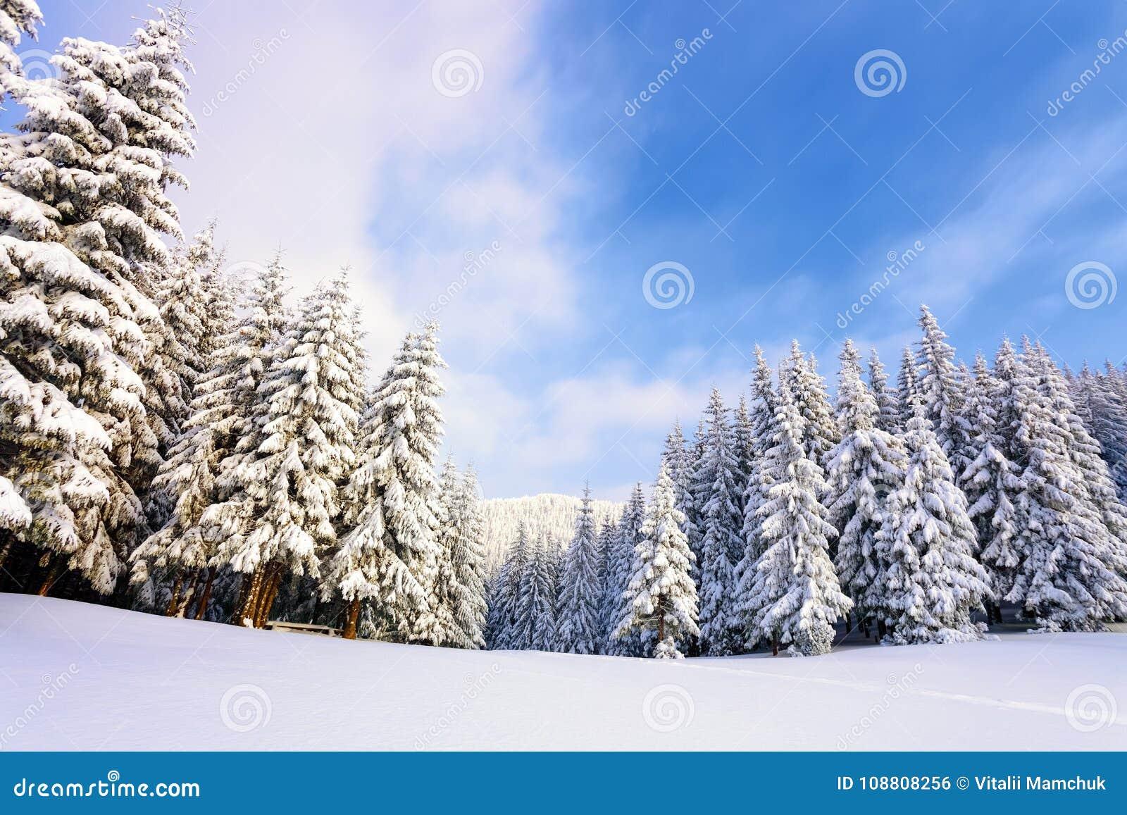 Arbres de Noël pelucheux fantastiques dans la neige Carte postale avec les arbres grands, le ciel bleu et la congère Paysage d hi