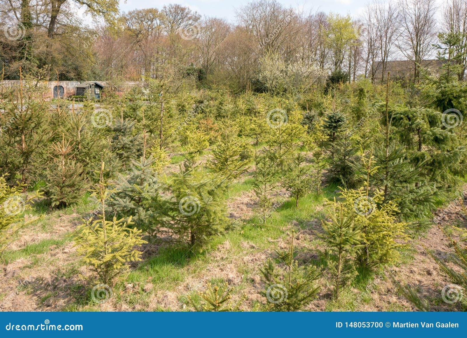 Arbres de Noël retournés ou réutilisation des arbres de Noël aux Pays-Bas