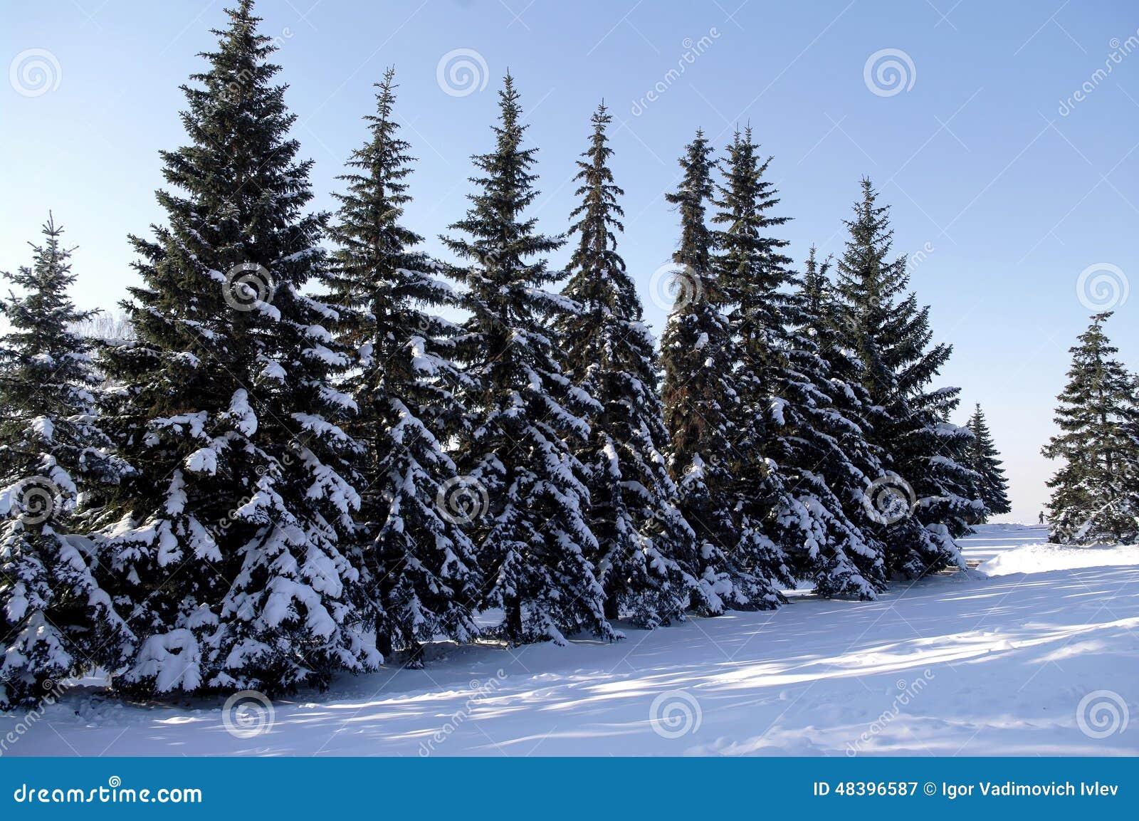 arbres de no l sous la neige photo de paysage d 39 hiver. Black Bedroom Furniture Sets. Home Design Ideas