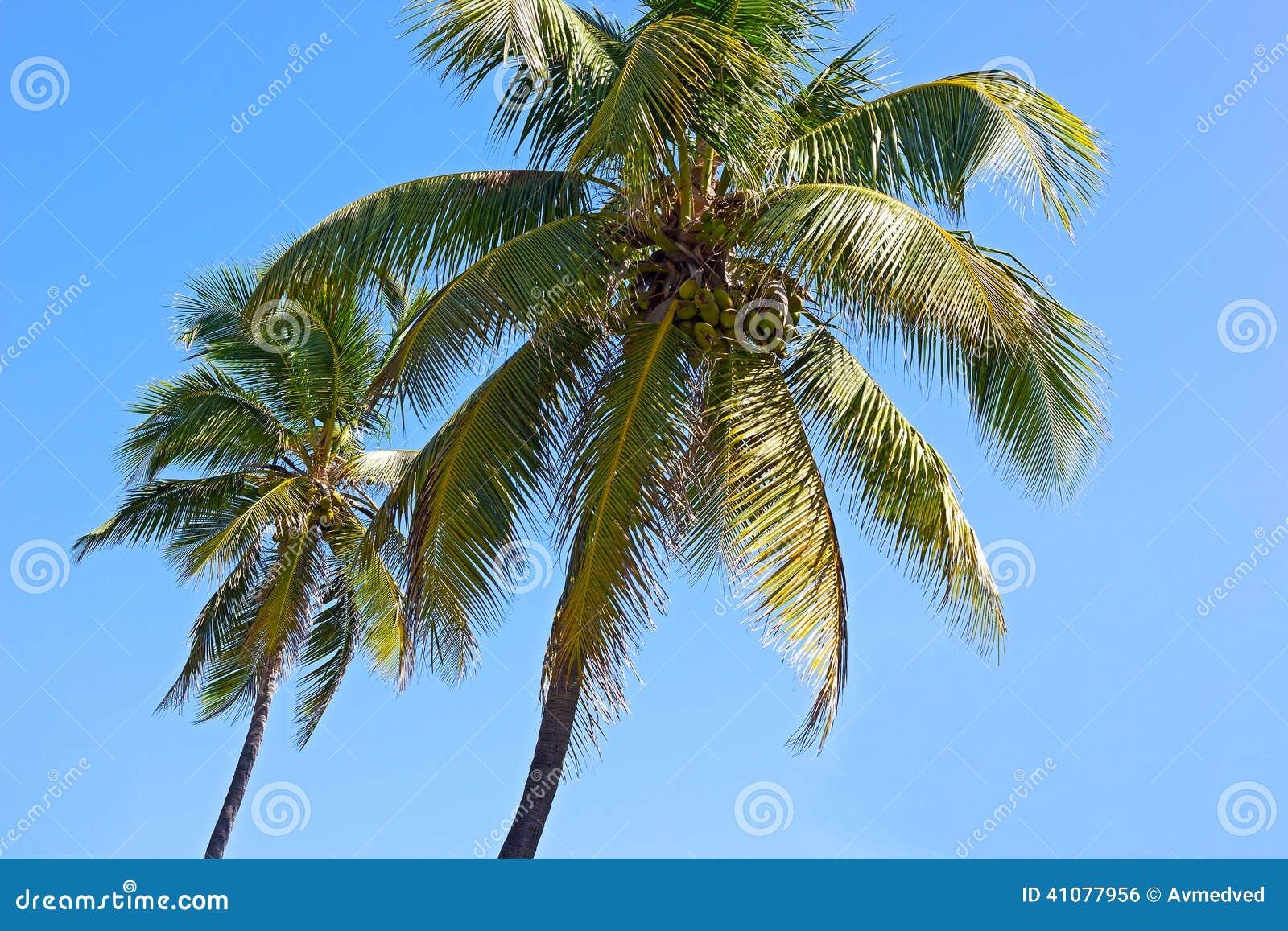 Arbres de noix de coco contre le ciel bleu de miami beach photo stock image 41077956 - Arbre noix de coco ...