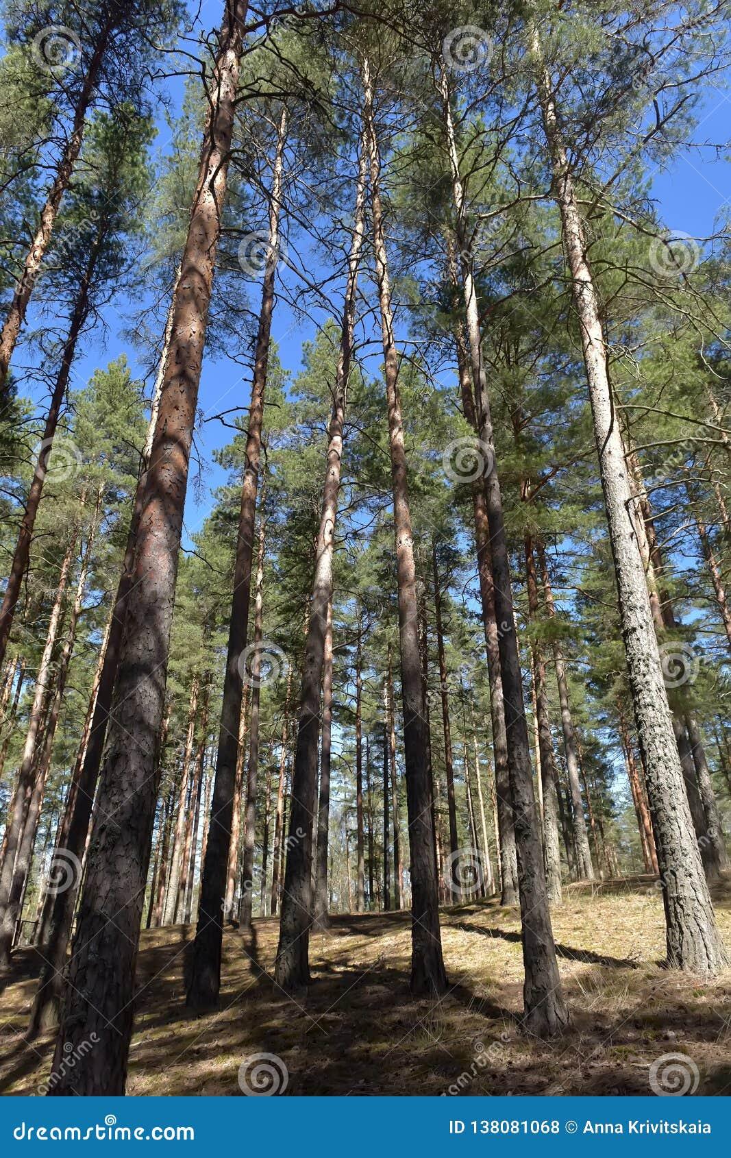 Arbres de pin grands dans la for?t