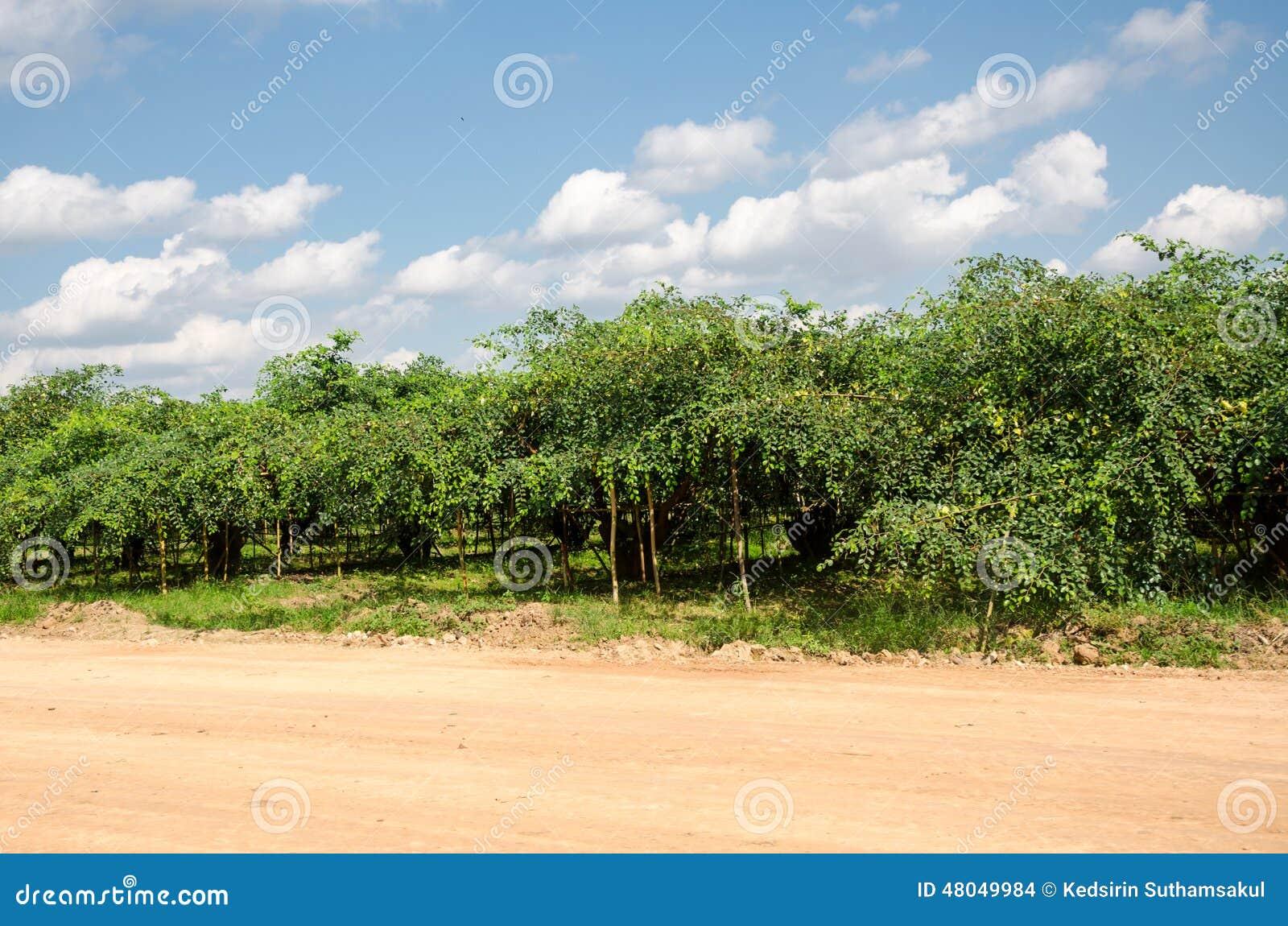 Arbres de pomme ou de jujube de singe dans le jardin photo for Arbres de jardin