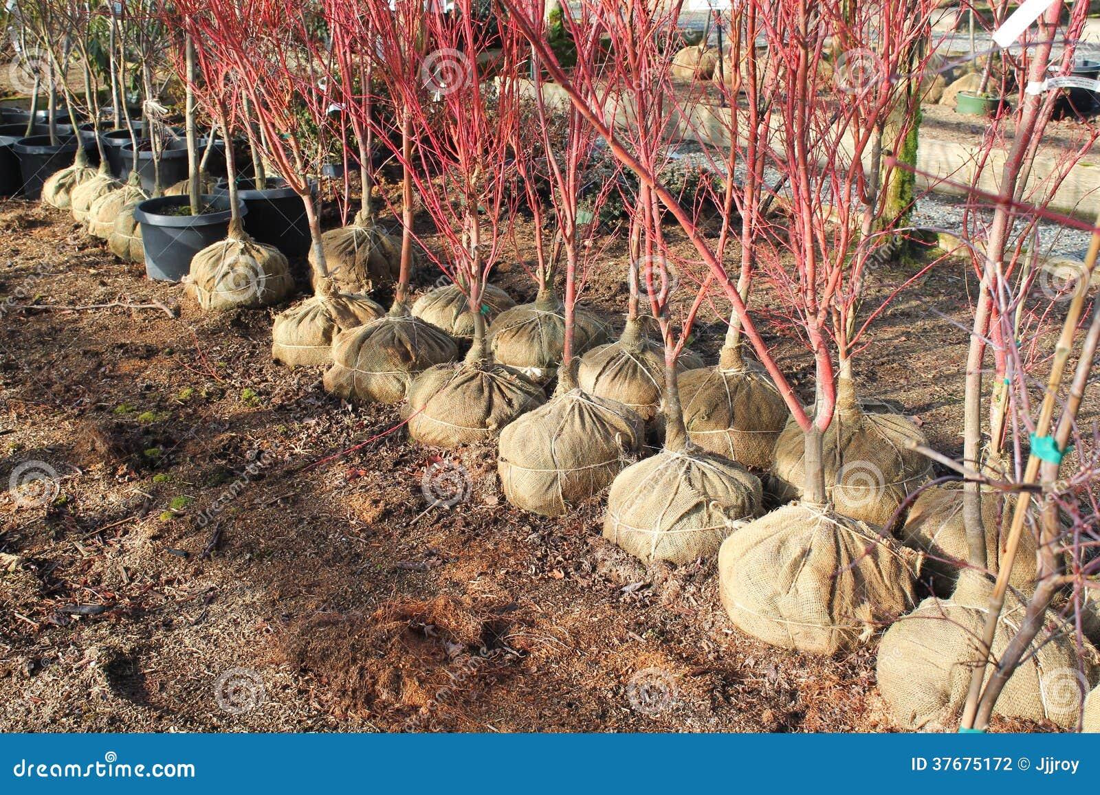 arbres de toile de jute balled pr ts pour la plantation photographie stock image 37675172. Black Bedroom Furniture Sets. Home Design Ideas
