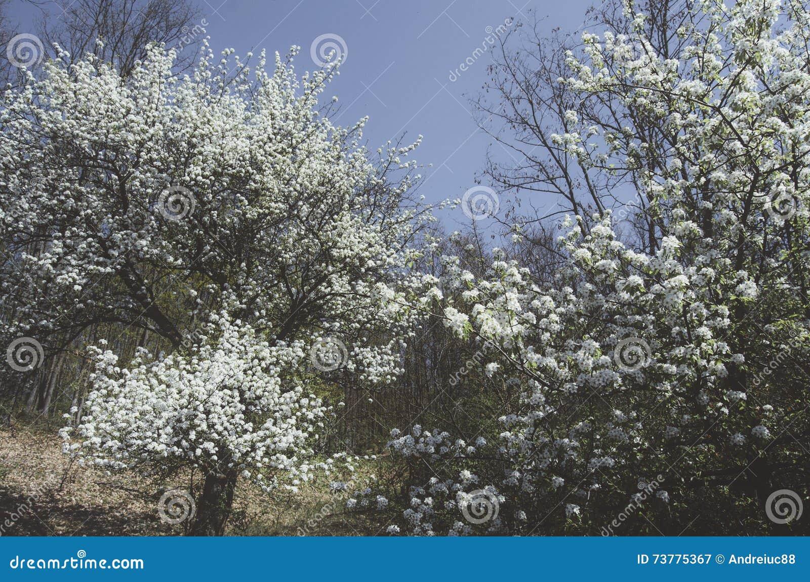 Arbres en fleur au printemps