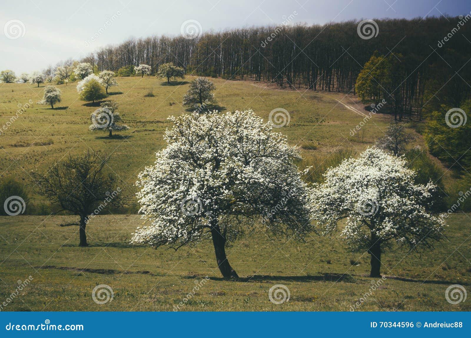 Arbres en fleur avec les fleurs blanches au printemps