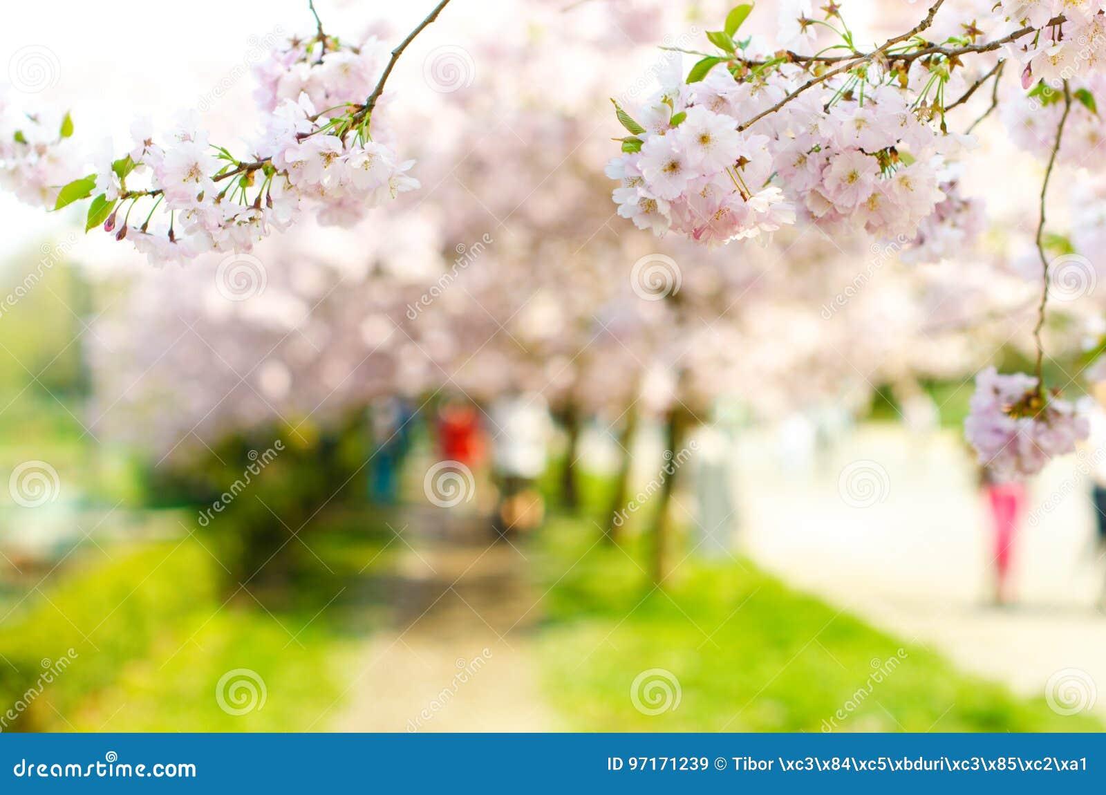 Arbres et fleurs de fleur en parc Belle vue de nature de ressort avec des personnes Arbres et lumière du soleil Scène de jour ens