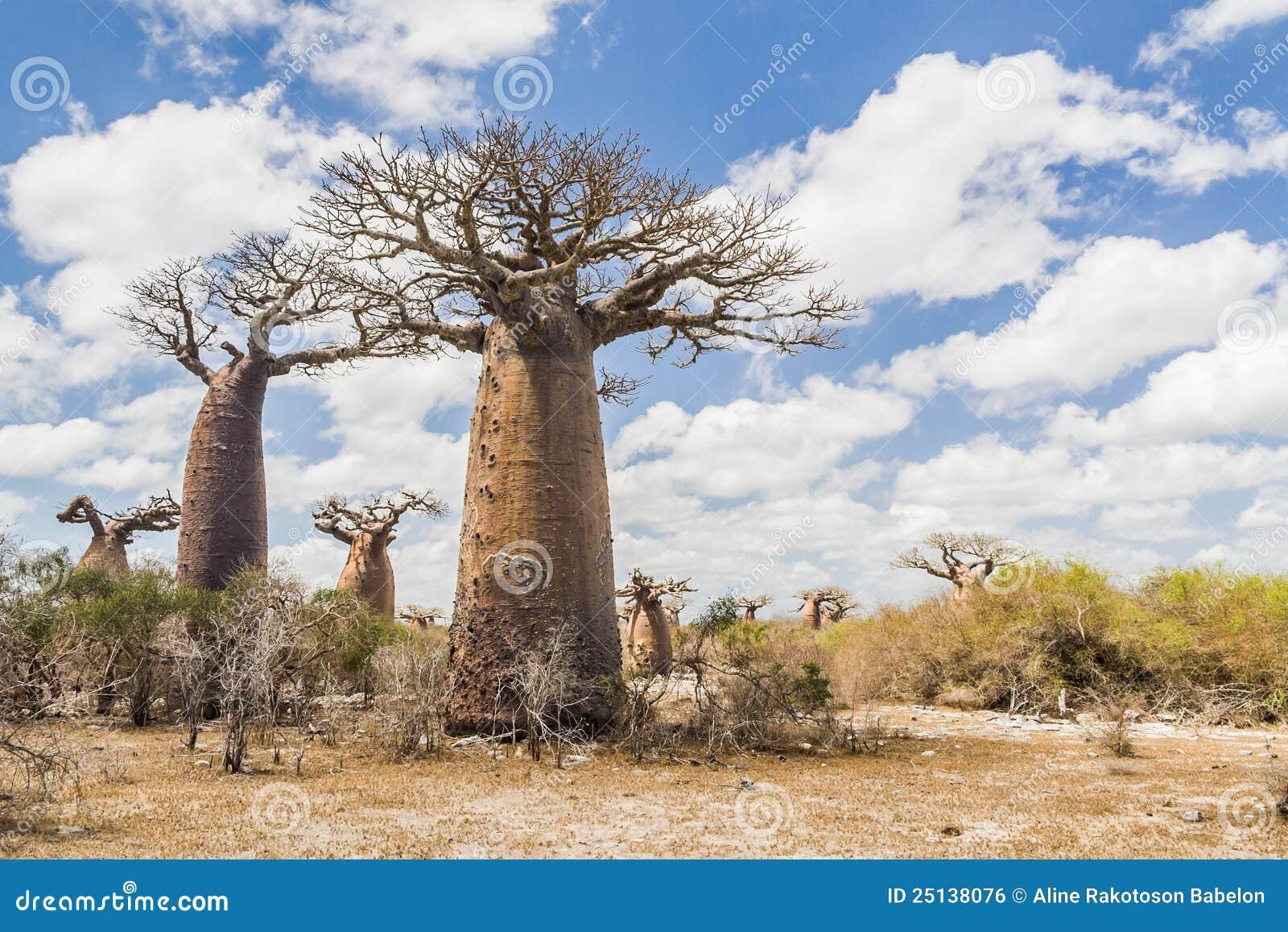 arbres et savane de baobab photo stock image du ext rieur 25138076. Black Bedroom Furniture Sets. Home Design Ideas