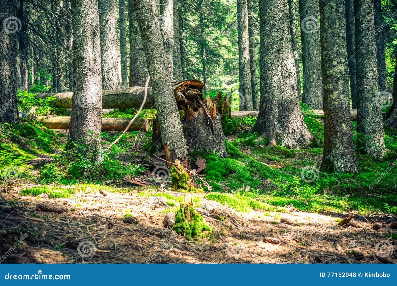 Arbres forestiers Milieux en bois verts de lumi?re du soleil de nature