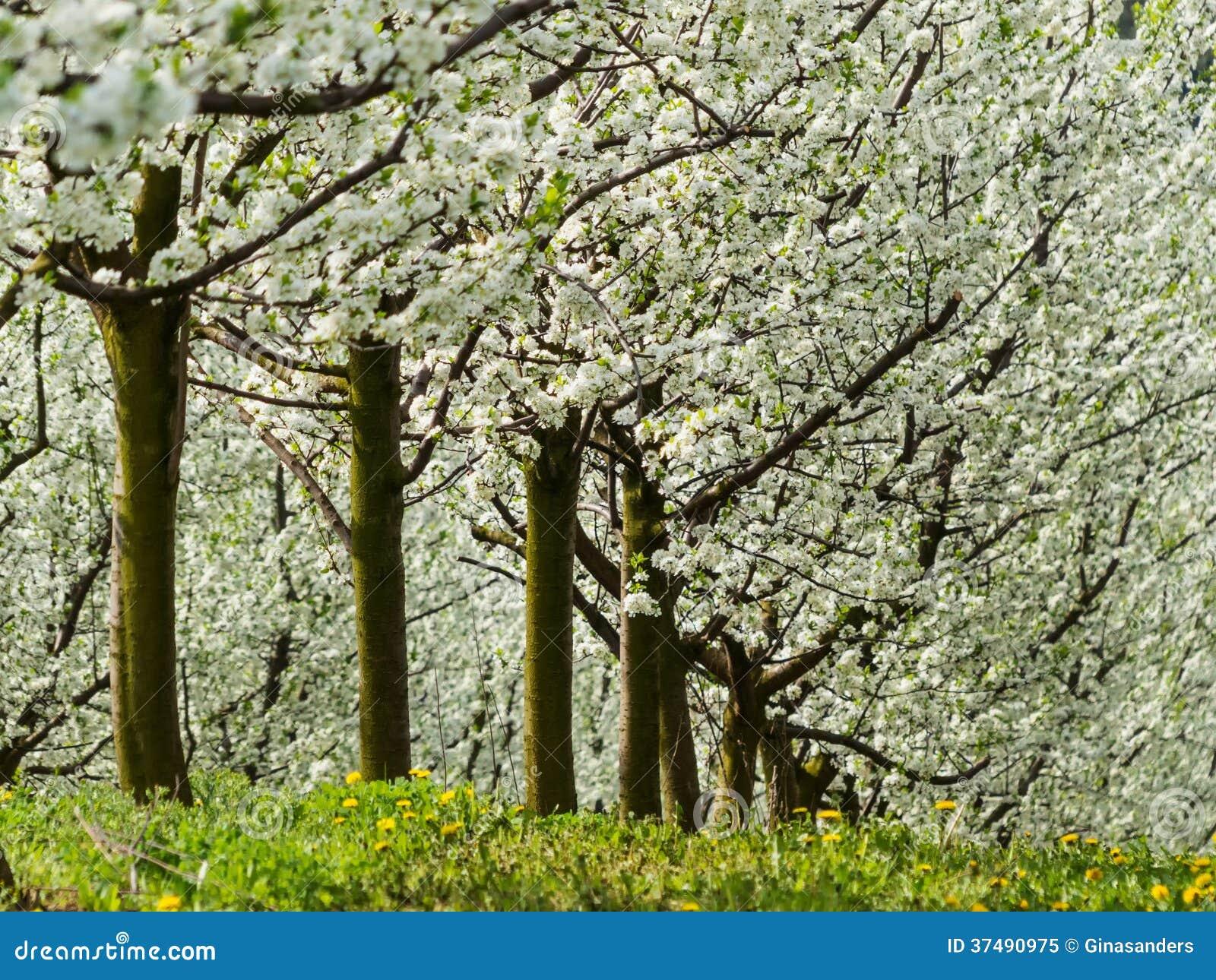 Arbres fruitiers de floraison au printemps image stock for De l arbre au meuble
