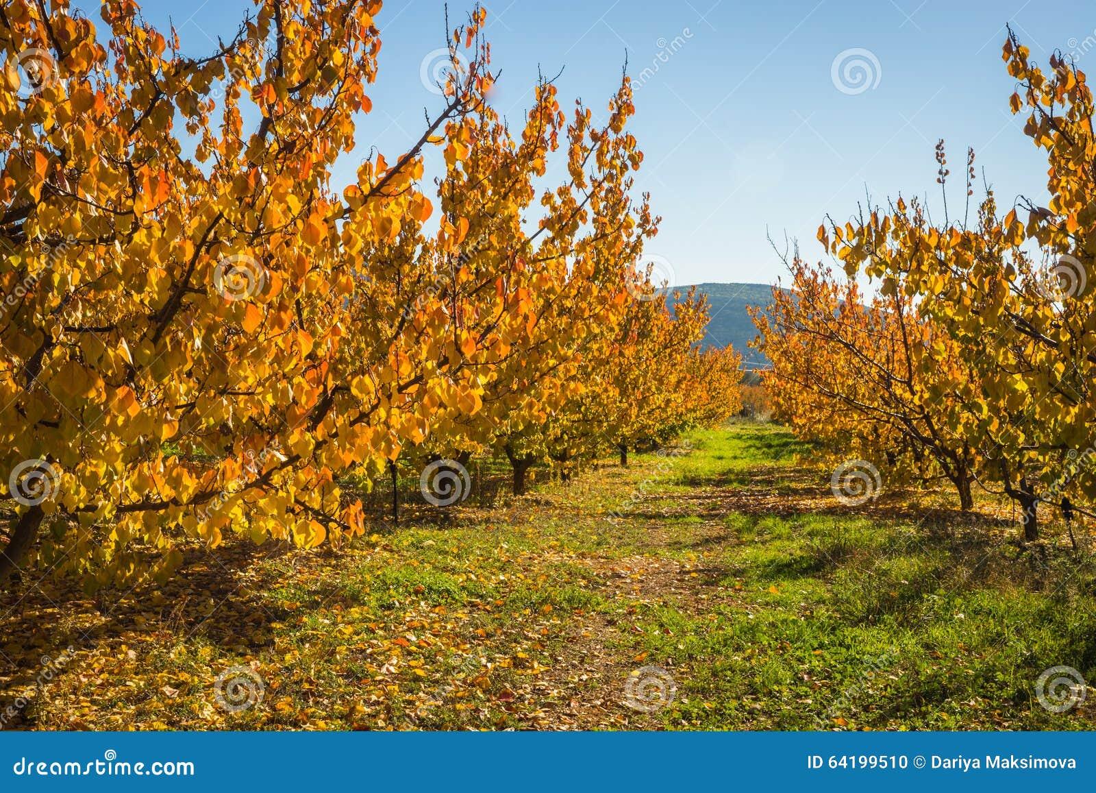 arbres fruitiers en automne sur un flanc de coteau dans. Black Bedroom Furniture Sets. Home Design Ideas