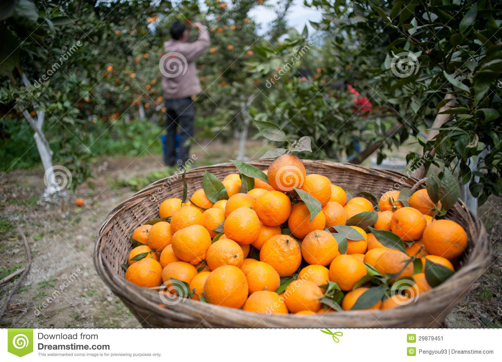 arbres fruitiers jardins arbre orange image stock image du cl mentine tangelo 29879451. Black Bedroom Furniture Sets. Home Design Ideas