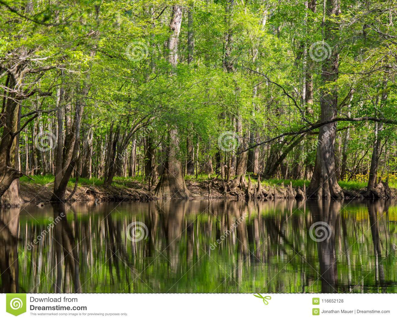Arbres grands le long des eaux bord, Cedar Creek, parc national de Congaree