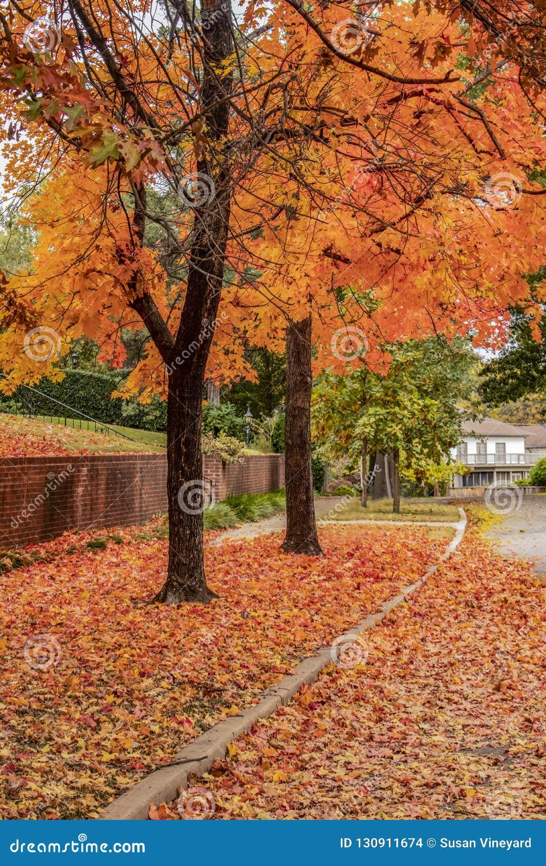 Arbres oranges et jaunes vibrants en automne avec la terre couverte dans des feuilles dans le nieghborhood classieux