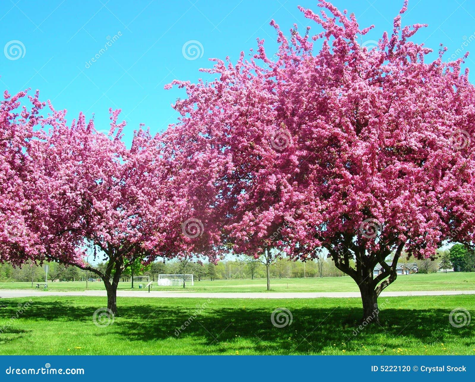 arbres roses en fleur photo stock image du arbre ciel 5222120. Black Bedroom Furniture Sets. Home Design Ideas