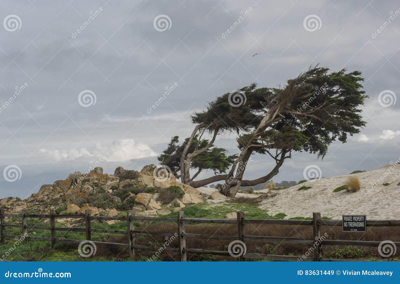 Arbres superficiels par les agents de Monterey Cypress
