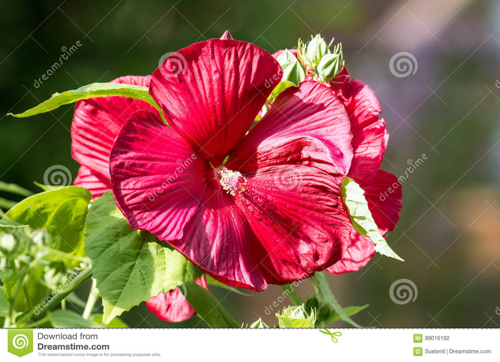 Arbuste Eternel De Ketmie Avec La Grande Fleur Rouge Photo Stock
