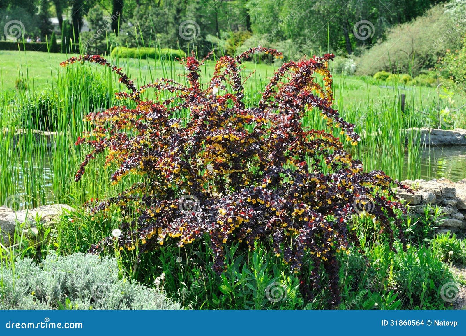 arbuste avec des feuilles de bourgogne et des fleurs jaunes photo stock image du frais. Black Bedroom Furniture Sets. Home Design Ideas