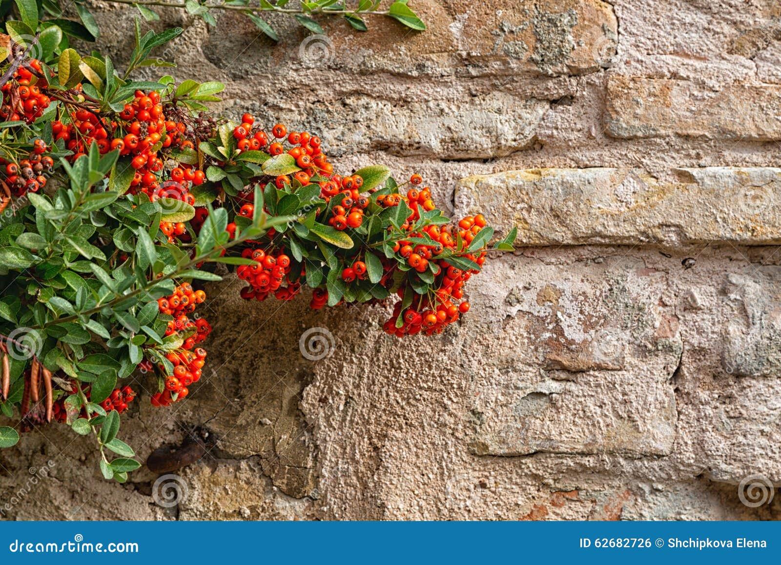 Arbuste avec les baies rouges photo stock image 62682726 - Arbuste a baies rouges ...