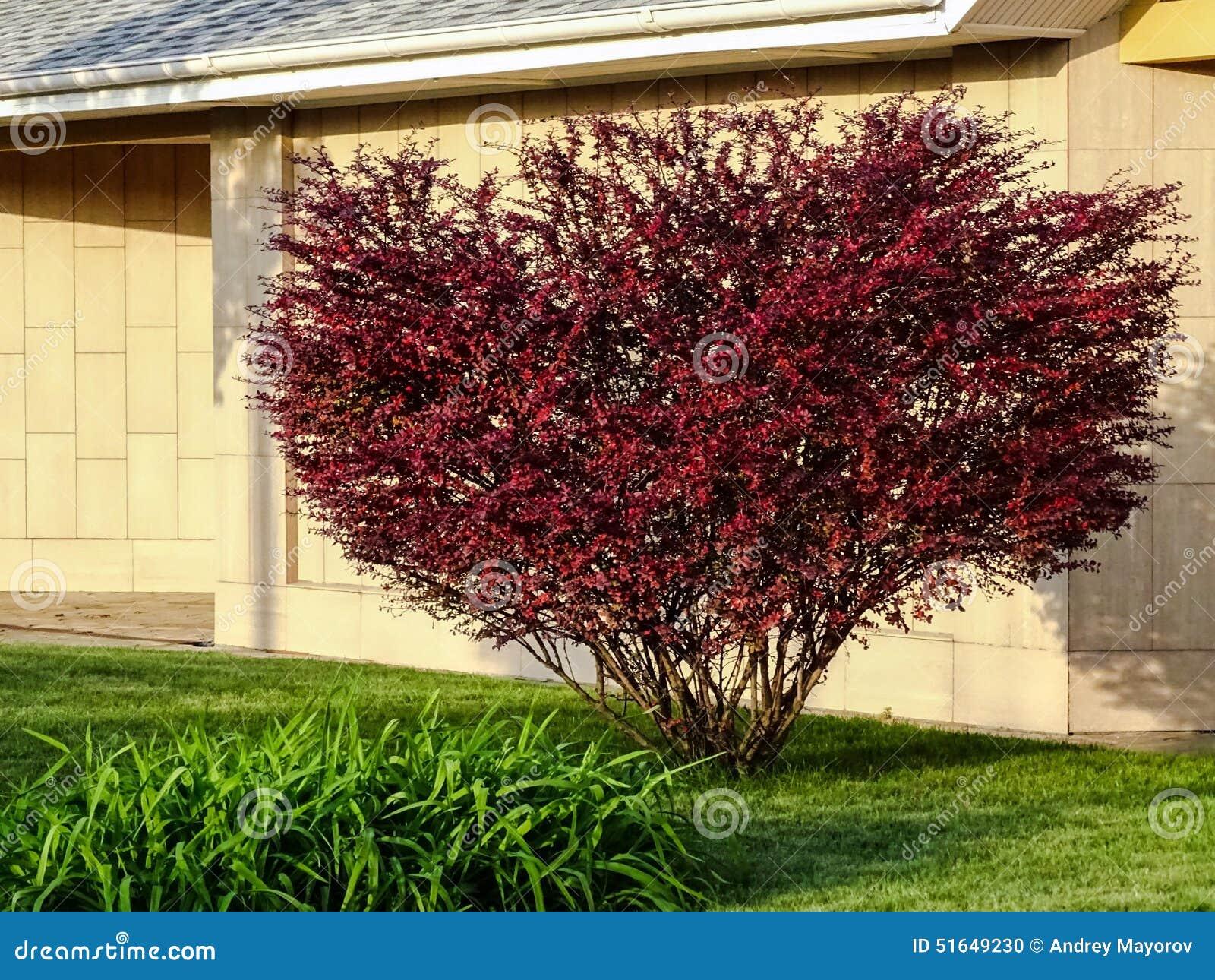 Arbuste avec les feuilles rouges photo stock image 51649230 for Comarbuste a feuille rouge