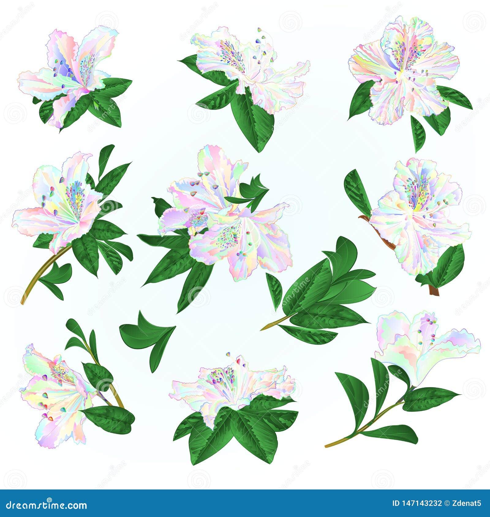 Arbuste color? multi de montagne de rhododendrons et de feuilles de fleurs sur une illustration bleue de vecteur de cru de fond e