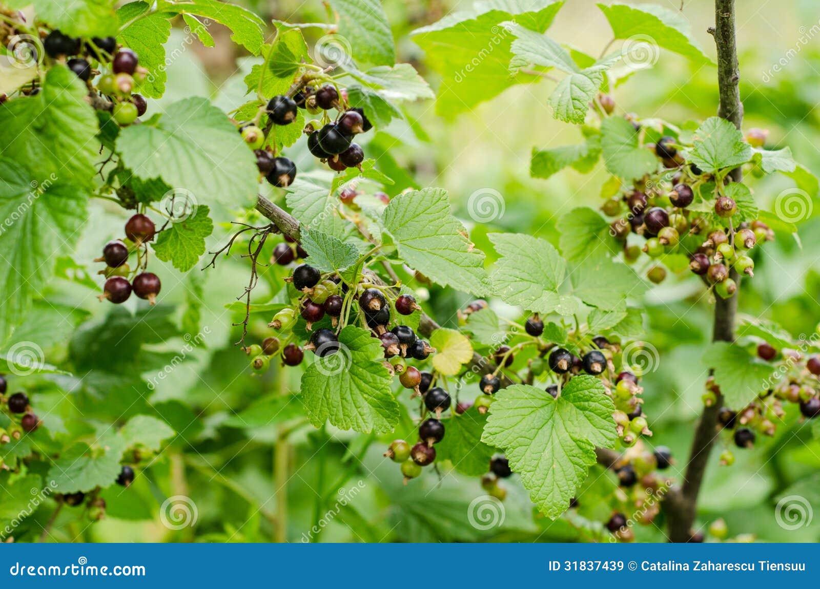 Arbuste De Cassis Image Stock Image Du Climate Comestible 31837439