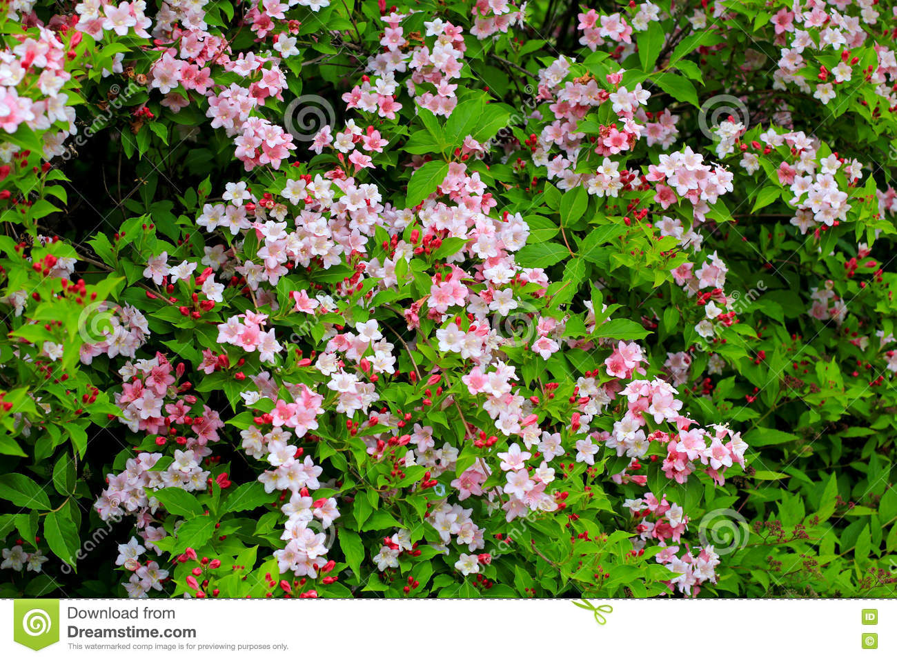 arbuste de floraison de weigela avec les fleurs roses image stock image du jardin ressort. Black Bedroom Furniture Sets. Home Design Ideas