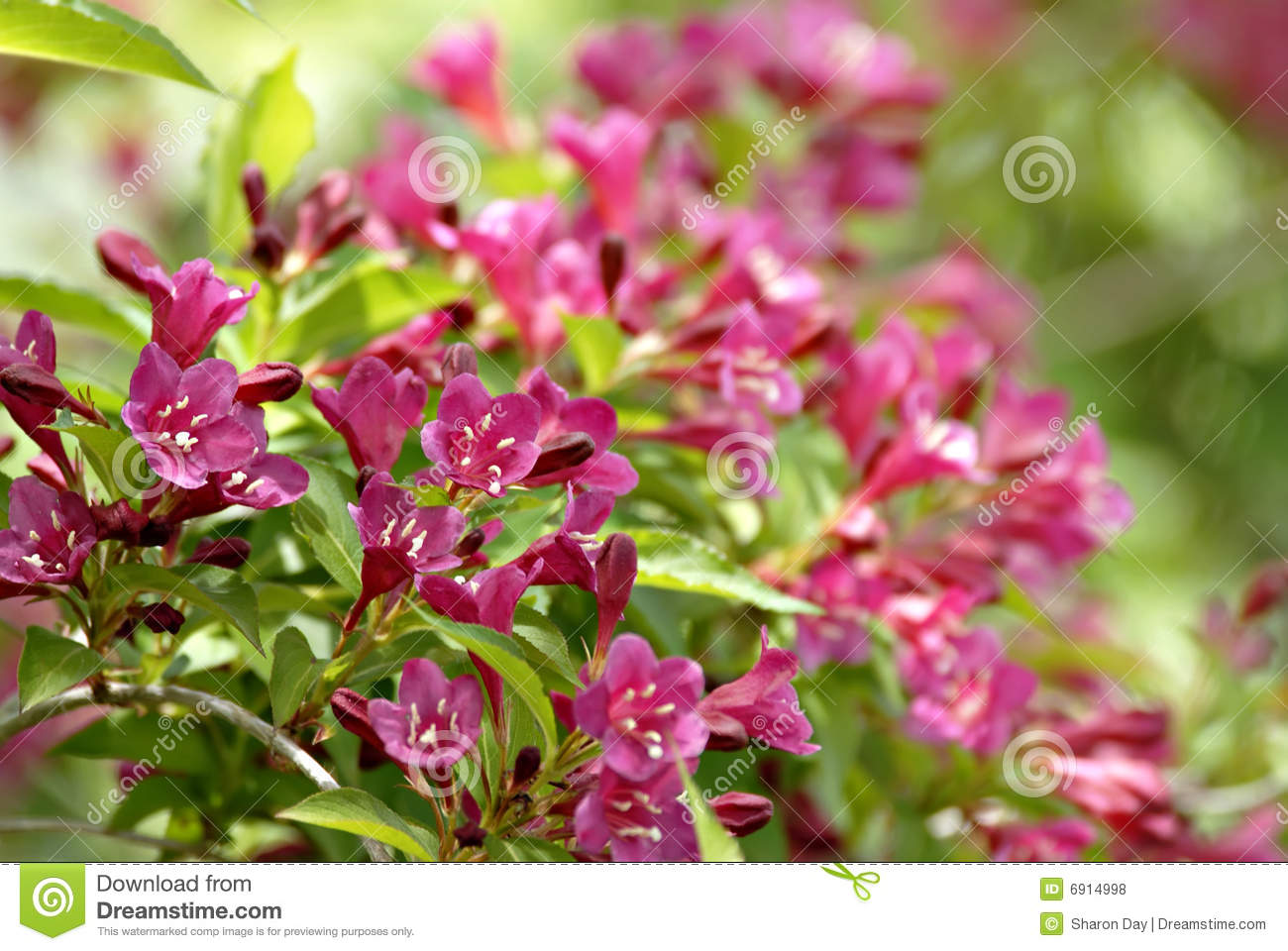 Arbuste de weigela photo stock image du instruction - Arbuste a fleurs roses identification ...
