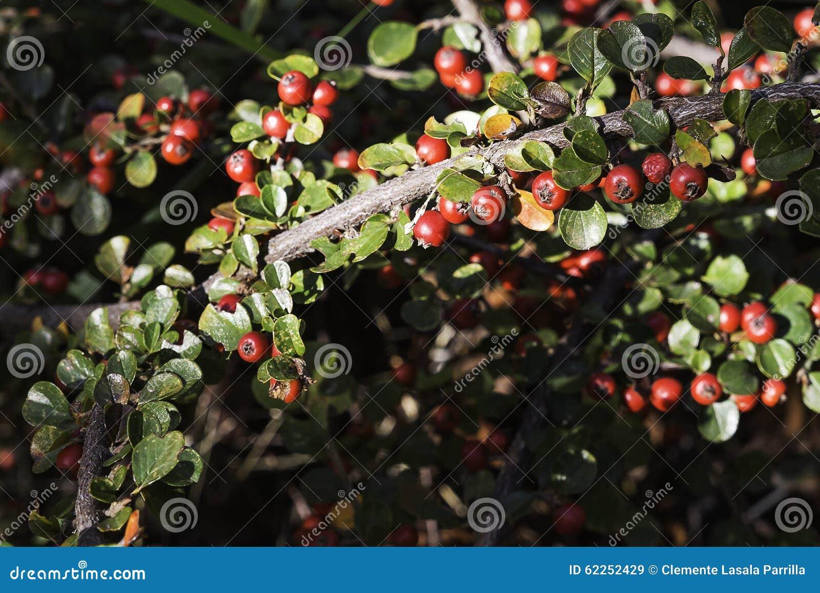 arbuste des fruits rouges cognassier du japon d 39 aucuba photo stock image 62252429. Black Bedroom Furniture Sets. Home Design Ideas