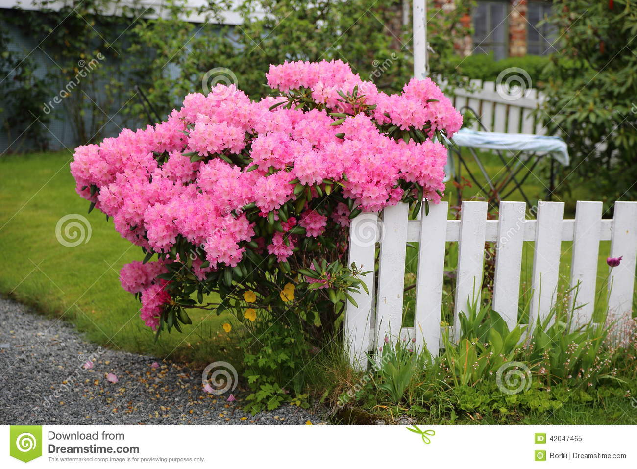 arbuste fleurissant rose photo stock - image: 42047465