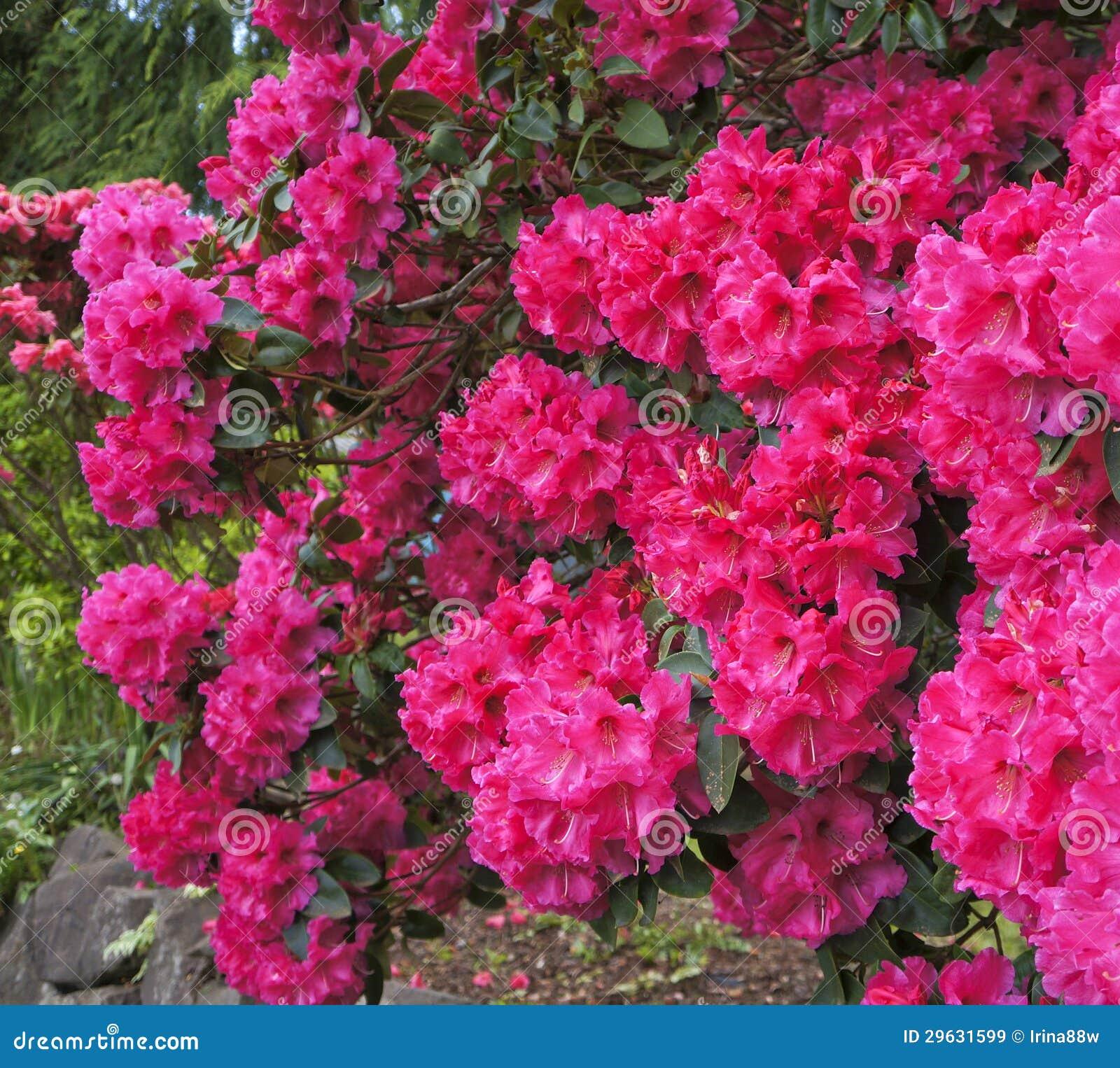 arbuste rose de rhododendrons en fleur. source. les etats-unis du