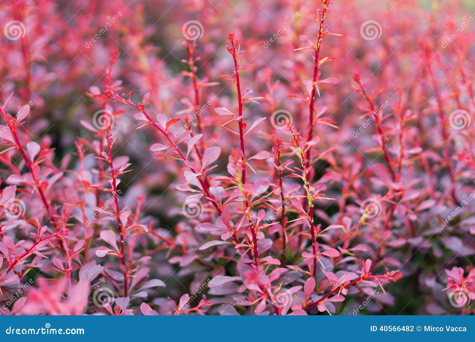 arbuste rouge photo stock image du arbre fond rouge 40566482. Black Bedroom Furniture Sets. Home Design Ideas