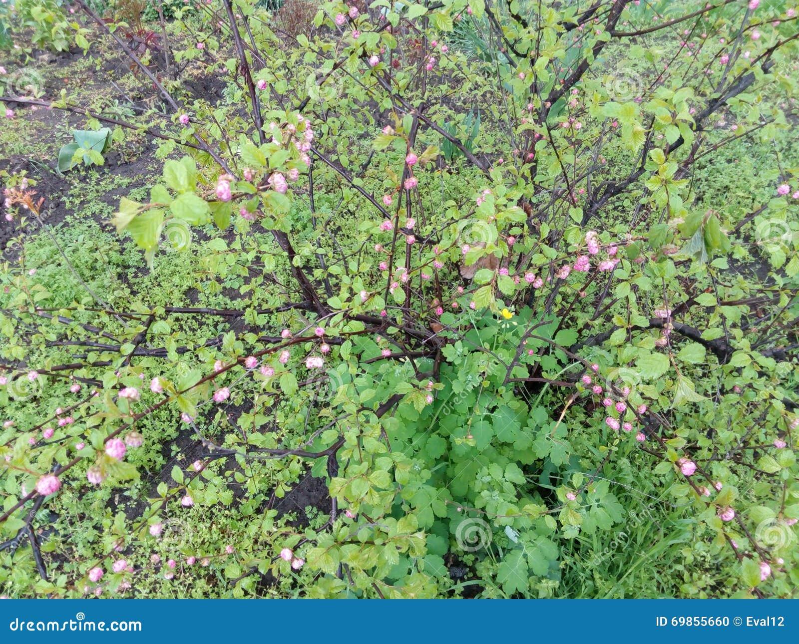 arbuste vert avec de petites feuilles et fleurs violettes photo stock image du vert arbuste. Black Bedroom Furniture Sets. Home Design Ideas