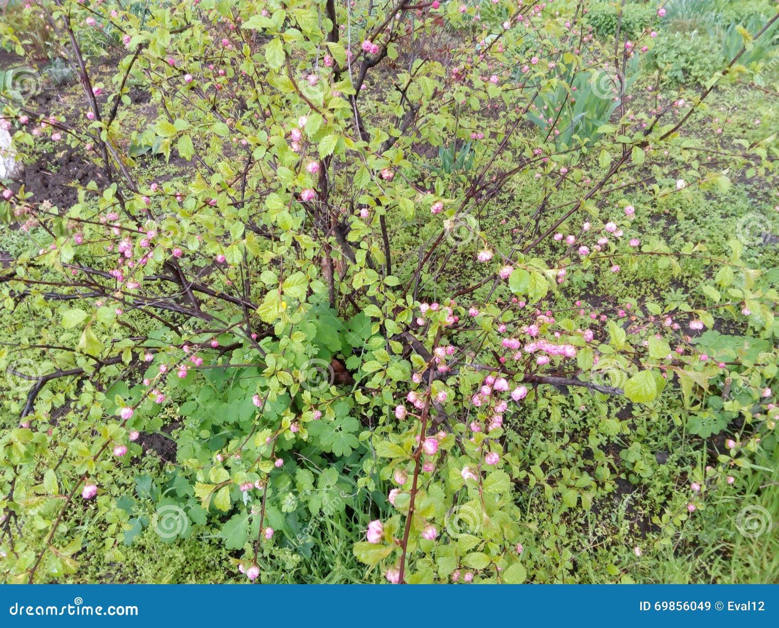 arbuste vert avec de petites feuilles et fleurs violettes image stock image du centrale. Black Bedroom Furniture Sets. Home Design Ideas