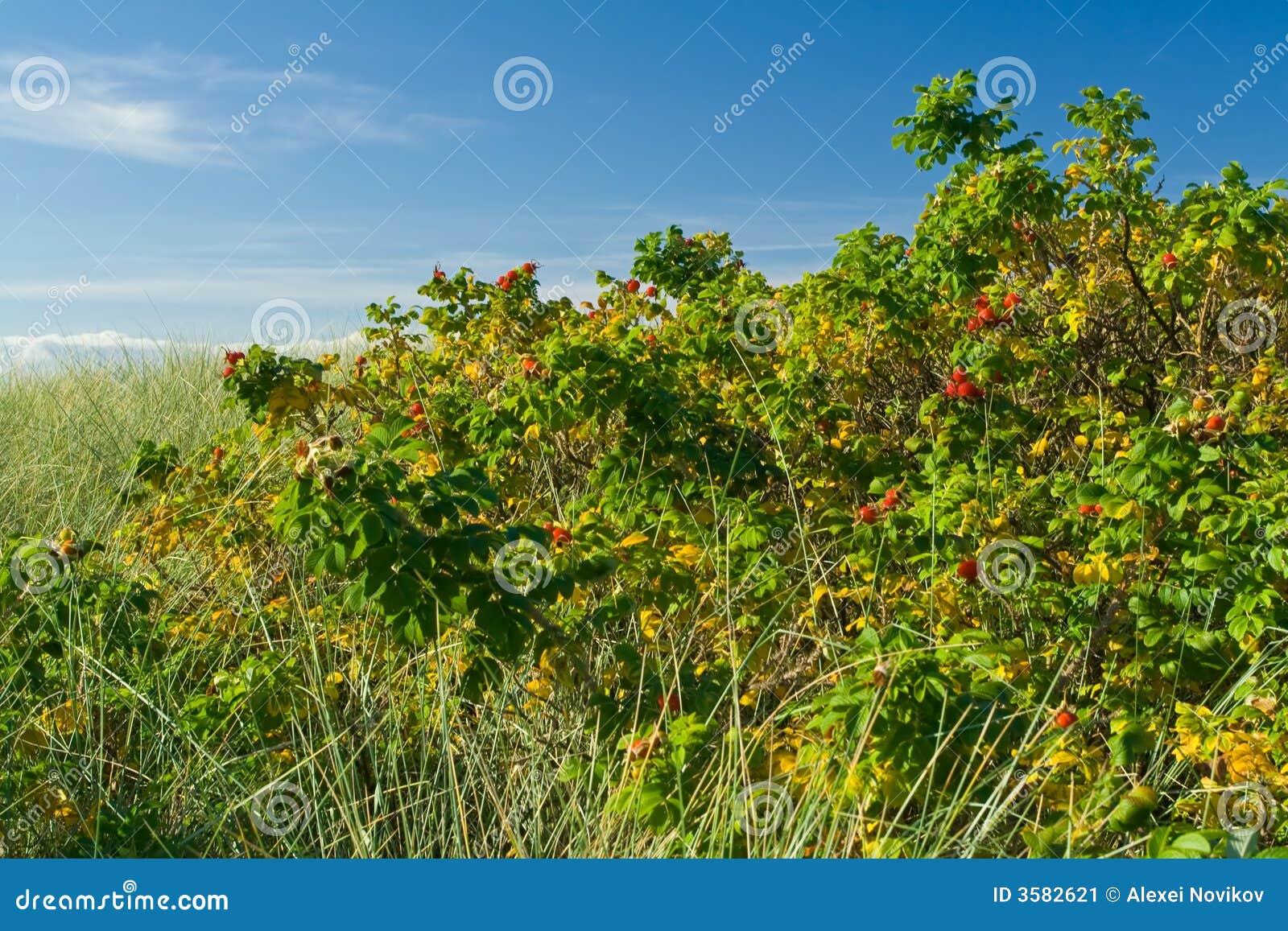 Arbustes roses de crabot au bord de la mer image stock - Arbuste bord de mer ...