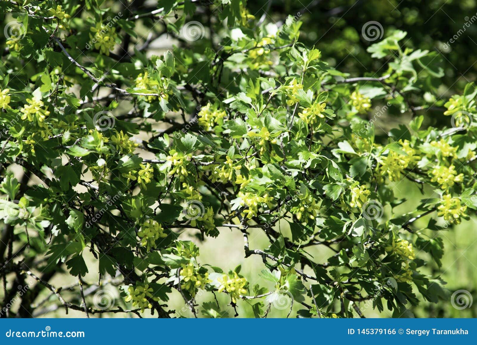 Arbusto Fiori Gialli.Arbusti Di Ribes Nero Di Fioritura In Primavera Piccoli Fiori