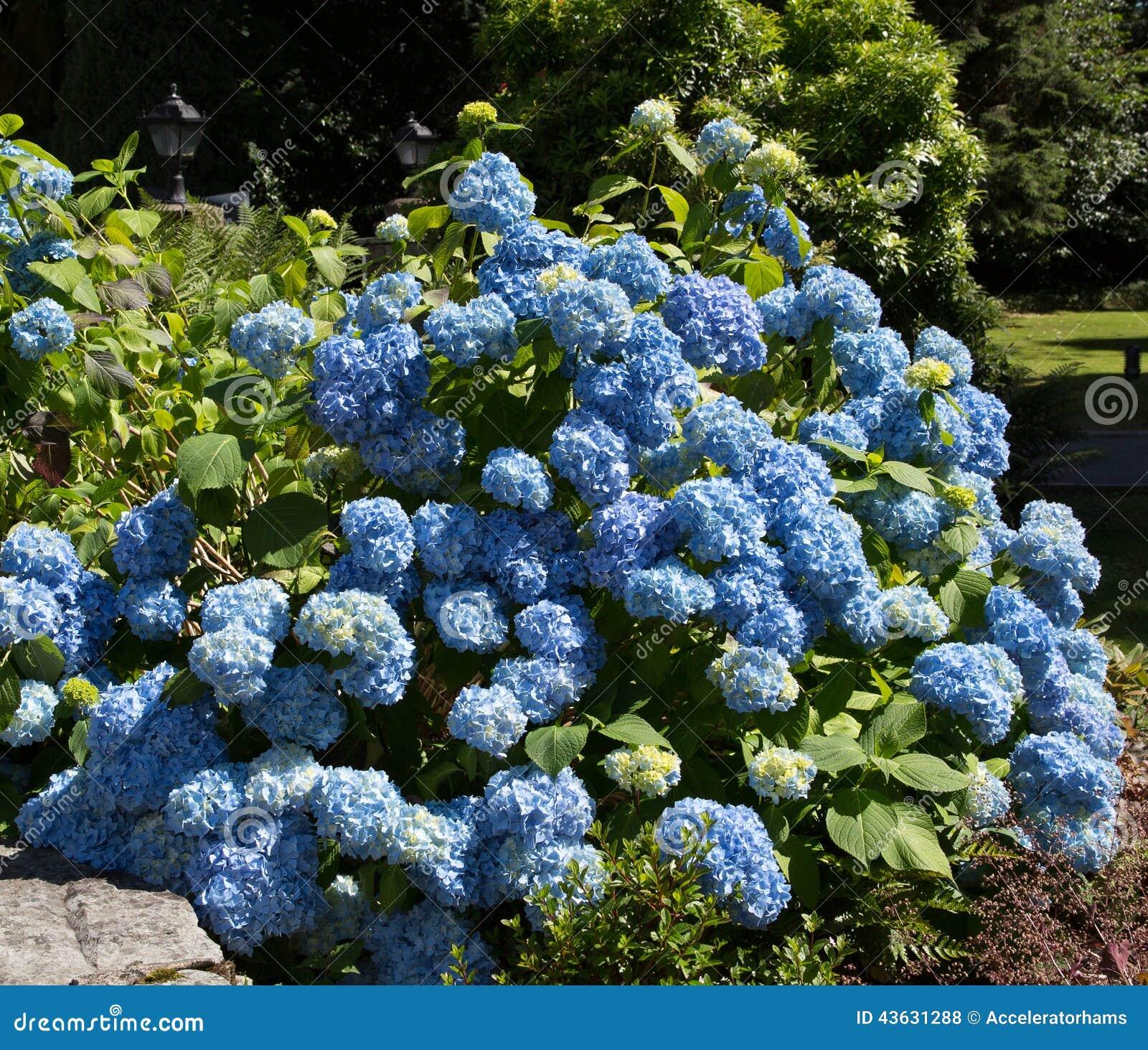 Arbusto azul de la hortensia foto de archivo imagen - Como cuidar una hortensia de exterior ...