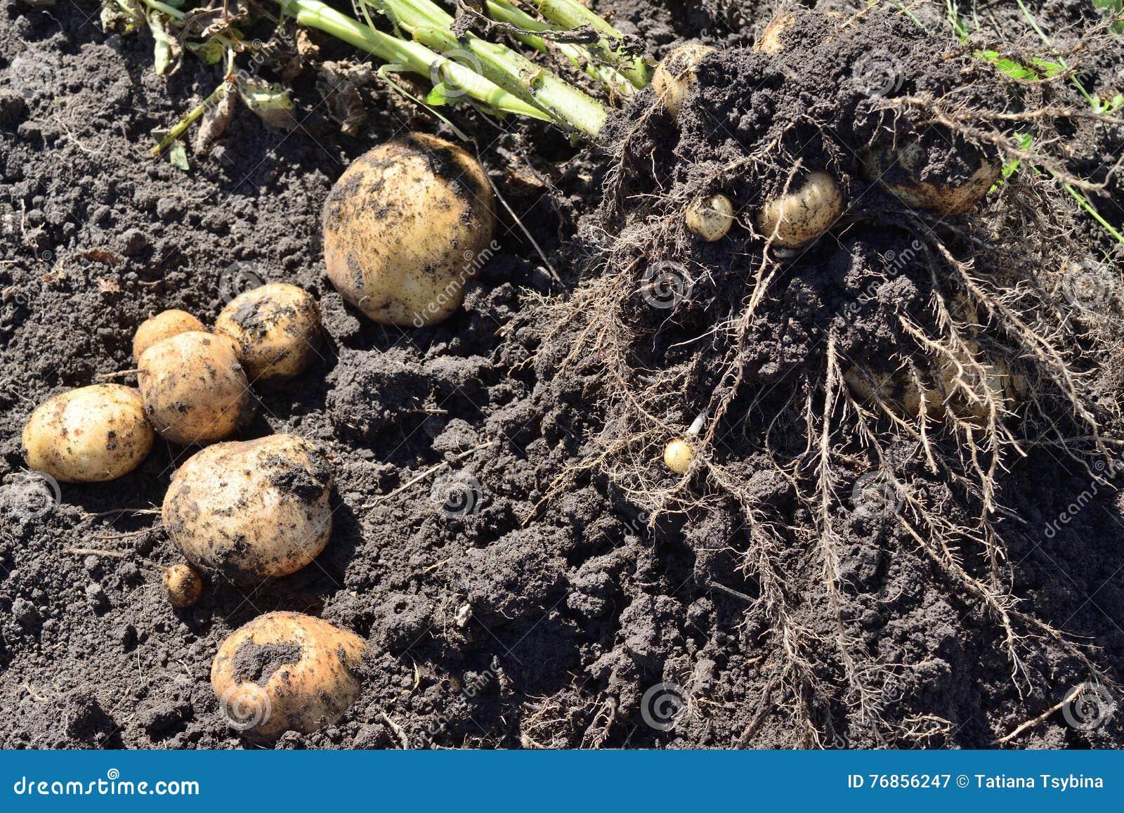 Arbusto cavado de las patatas