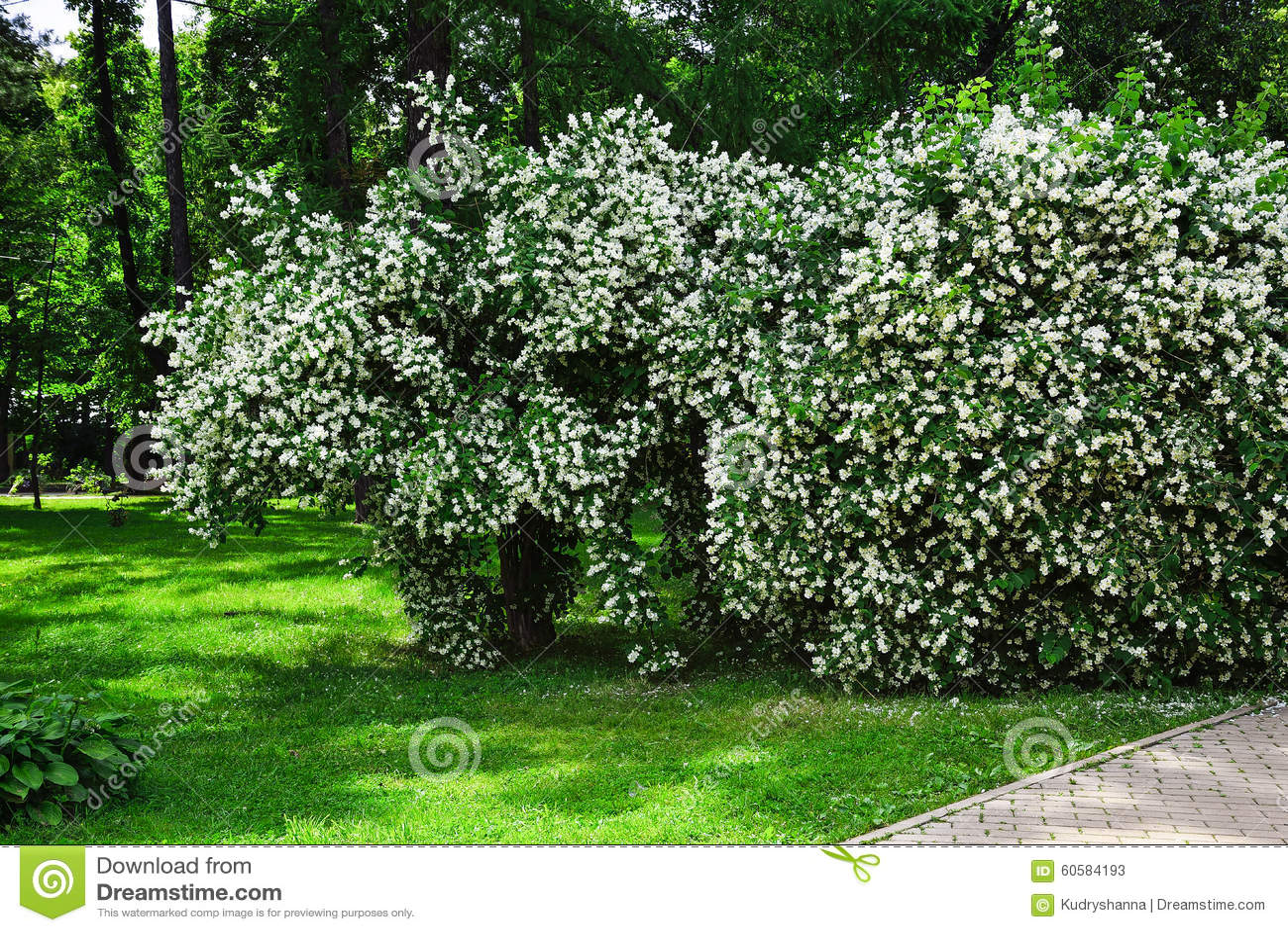 Cespuglio Con Fiori Bianchi.Arbusto Con I Fiori Bianchi Immagine Stock Immagine Di Bianco