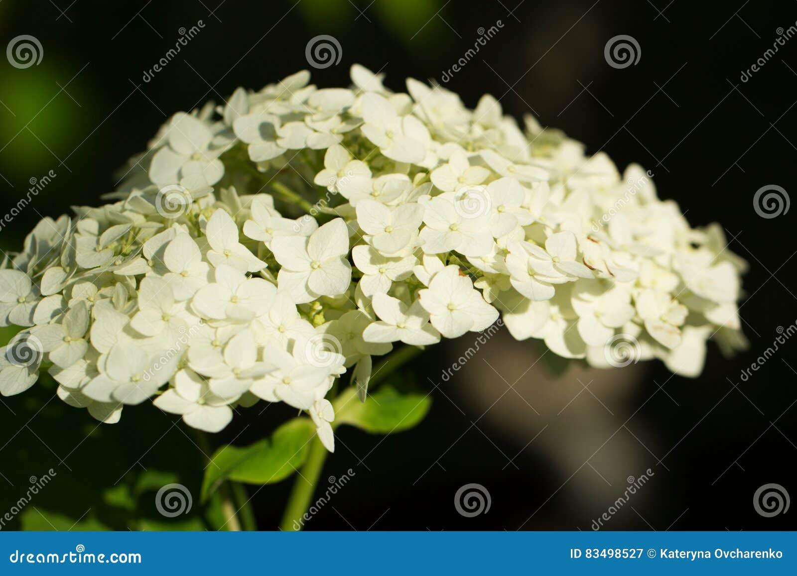 Come Far Fiorire Le Ortensie arbusto con i fiori fertili bianchi - ortensia per