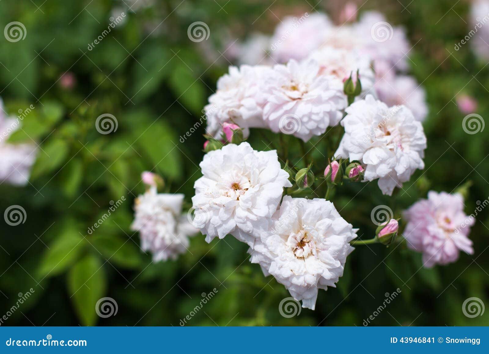 Image of arbustos de jardin con flores blancas el arbusto - Arbusto pequeno con flores ...