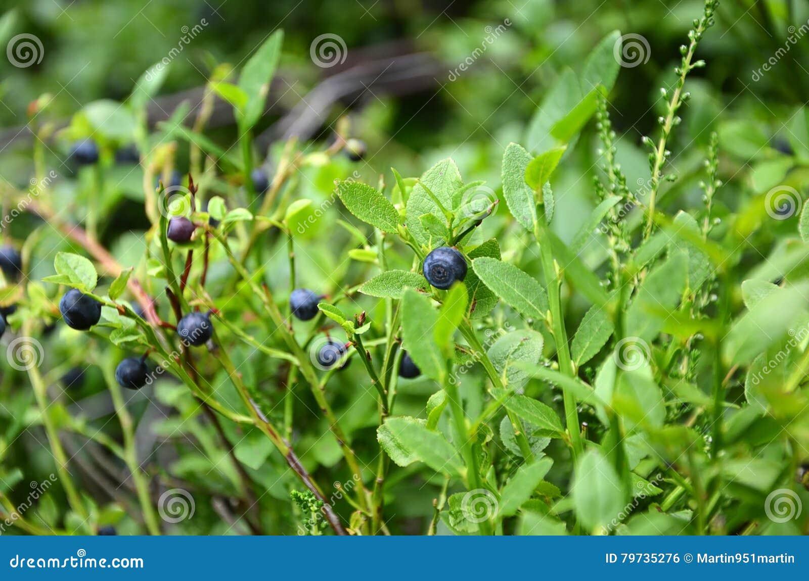 Arbusto de arándanos en detalle de la baya de la naturaleza del verano