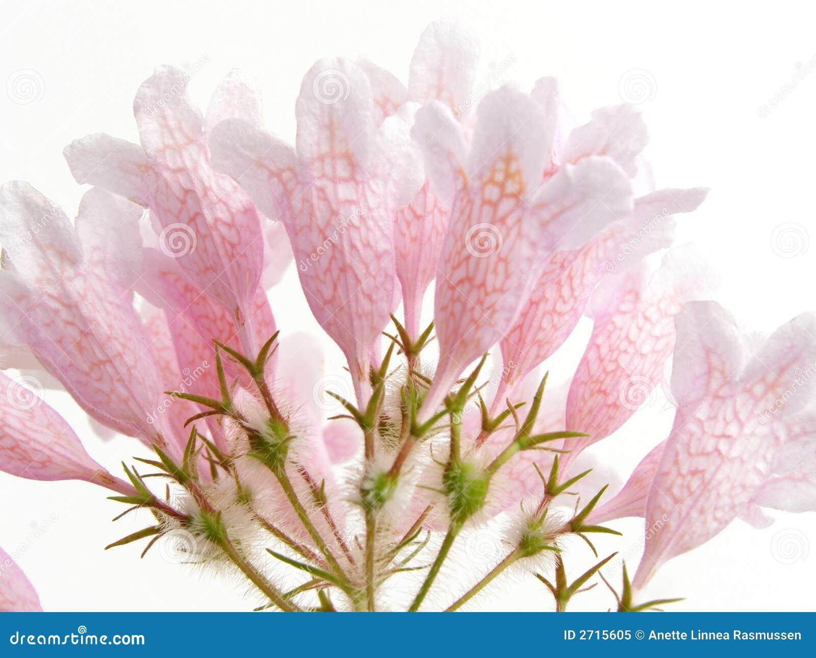 Arbusto de beleza cor-de-rosa