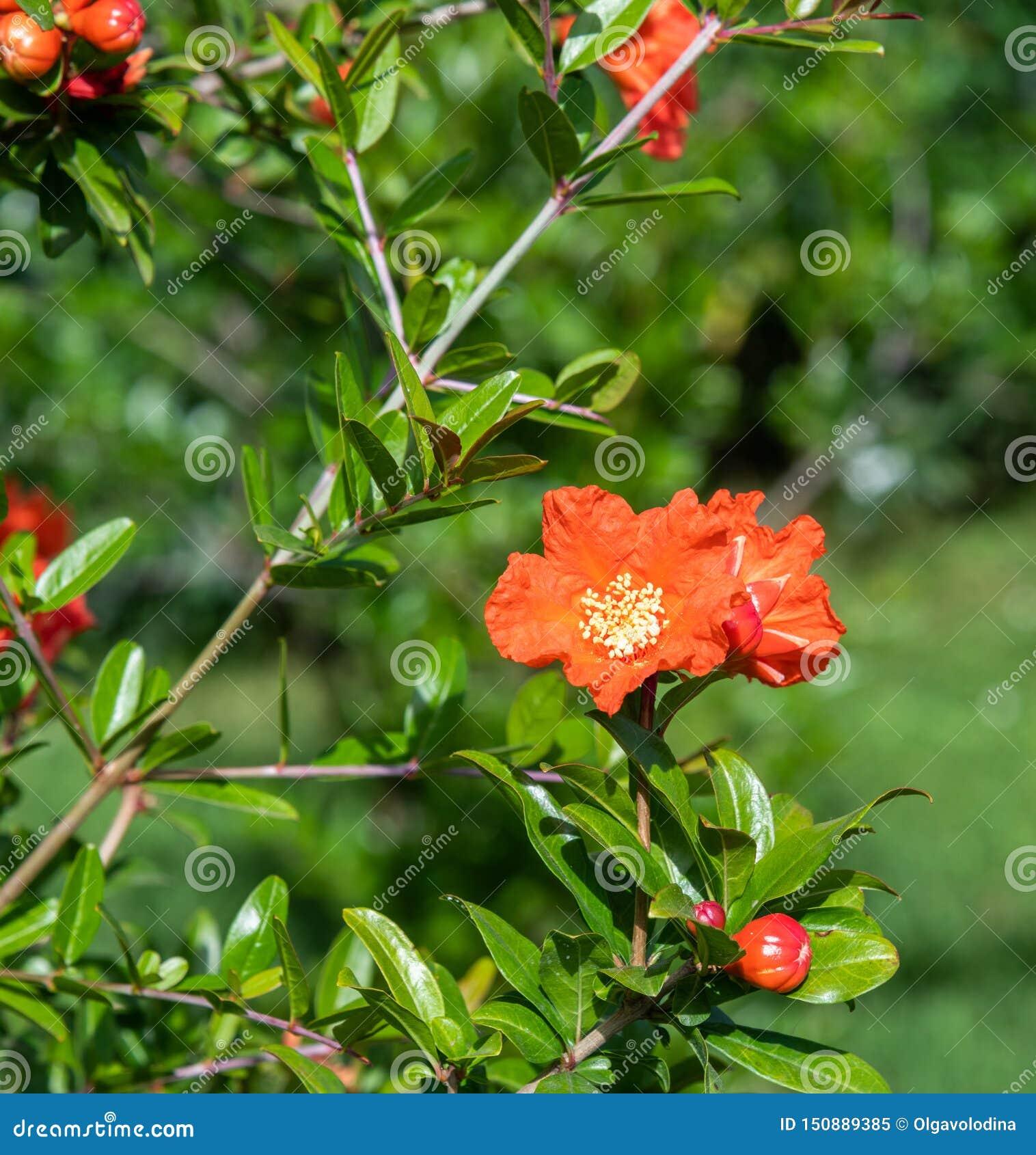 Arbusto de florecimiento de la granada con flores rojas