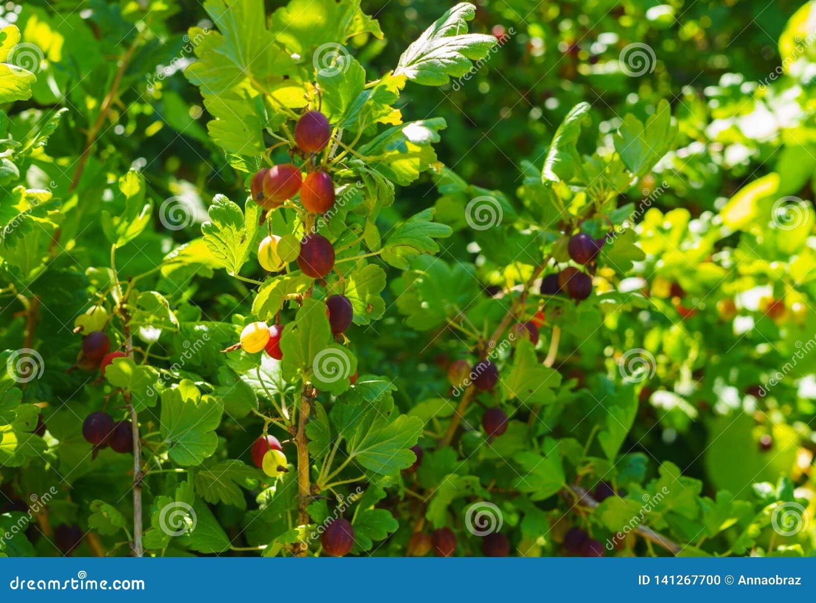 Arbusto de groselha com as bagas maduras no jardim do verão