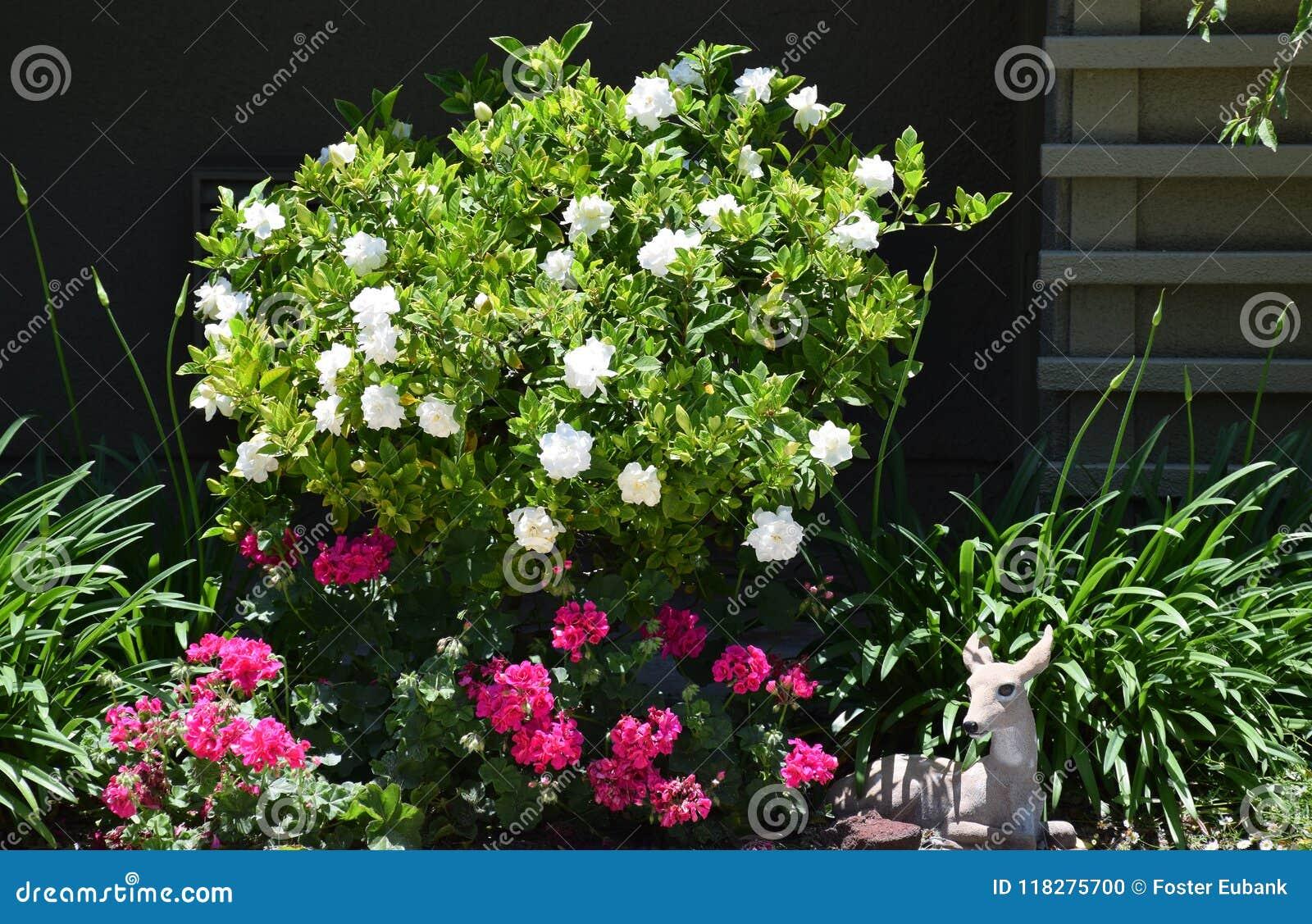 Arbusto de la gardenia en la plena floración