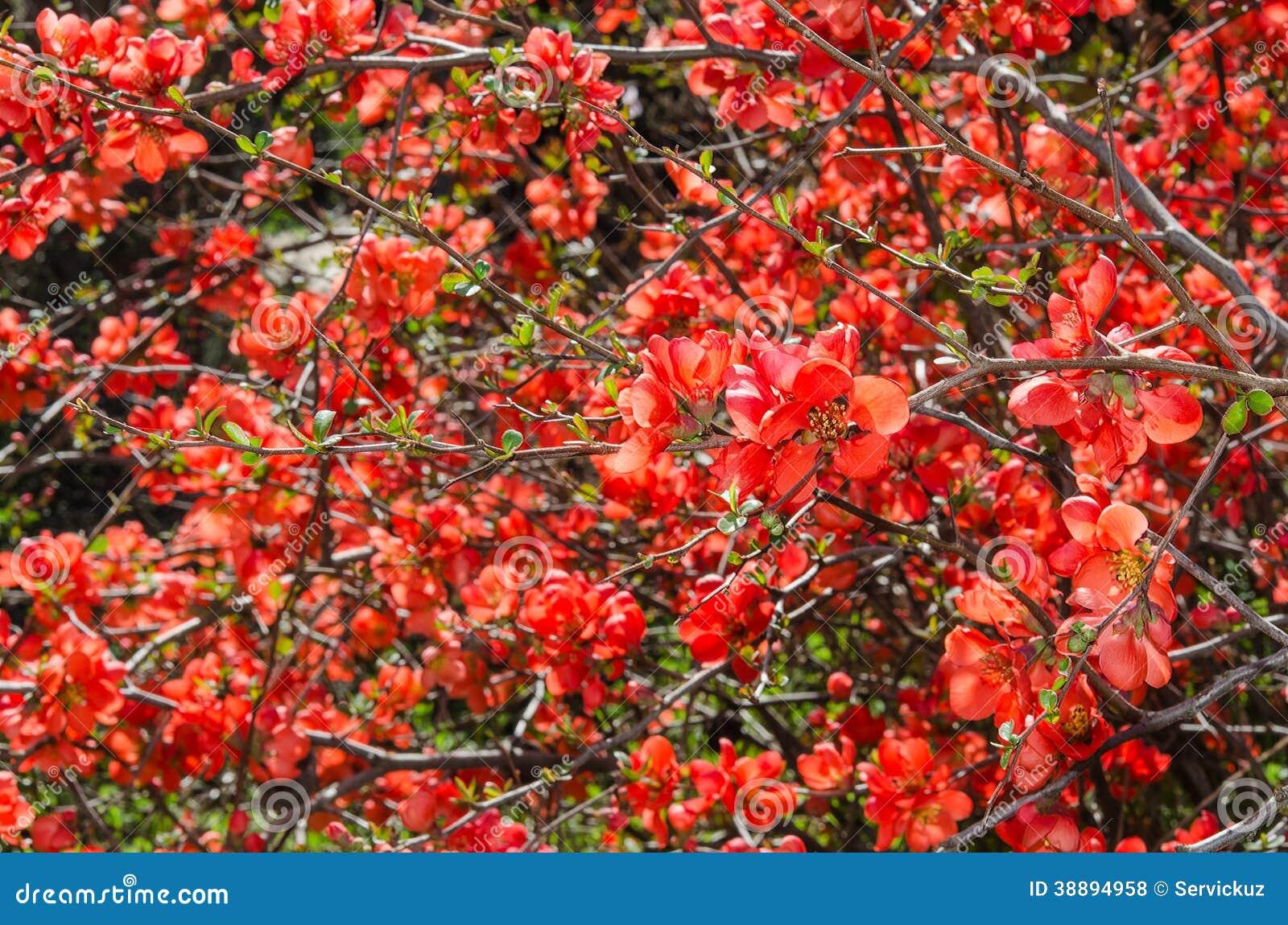 Arbusto de membrillo japon s floreciente de la primavera - Arbusto pequeno con flores ...