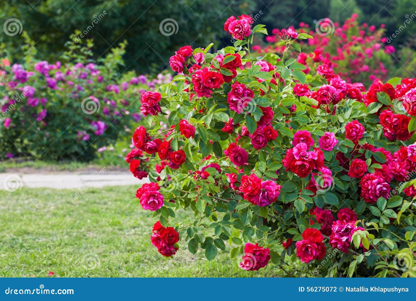 Arbusto de rosas no jardim foto de stock imagem de nave for Arbustos de jardin fotos